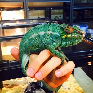 Nosy Be panther chameleon 1쌍