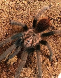 Phormictopus sp. south hispaniola 암 준~성체